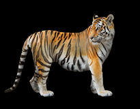 La tigre dell'Amur fotografia stock libera da diritti