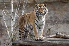 La tigre dell'Amur, altaica del Tigri della panthera, controlla molto attentamente vicino Fotografia Stock