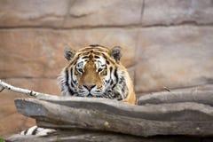 La tigre dell'Amur, altaica del Tigri della panthera, controlla molto attentamente vicino Fotografia Stock Libera da Diritti