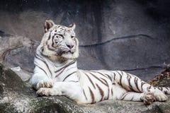 La tigre di Bengala bianca, trovantesi, si rilassa e guardante sulla scogliera immagini stock