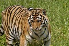 La tigre di Ussuri o dell'Amur, o il Lat dell'Estremo-Oriente della tigre Il altaica del Tigri della panthera è una sottospecie d fotografia stock libera da diritti