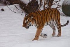 La tigre potente dell'Amur va in neve bianca profonda immagini stock