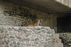 La tigre sbadiglia in una penna sui precedenti di una parete di pietra allo zoo a Kiev fotografia stock libera da diritti