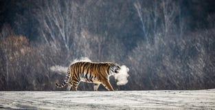La tigre siberiana cammina in una radura nevosa in una nuvola di vapore in un'immagine molto insolita dura del gelo La Cina harbi fotografia stock libera da diritti