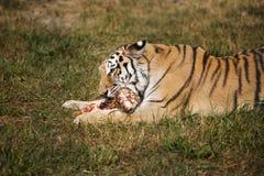 La tigre siberiana dell'Amur mangia la carne cruda fotografie stock