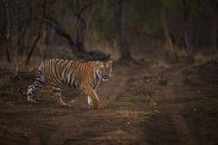 La tigre sopra vaga in cerca di preda Fotografia Stock