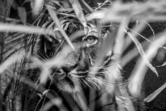 La tigre sta guardandovi Fotografie Stock