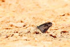 La tigre vetrosa comune fotografie stock
