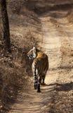 La tigre vigile. Fotografia Stock