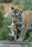 La tigresa oculta el cachorro. Foto de archivo libre de regalías
