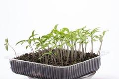 La tomate de jeune plante se développe dans une boîte en plastique transparente images stock