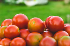 La tomate est beaucoup de rouge Photographie stock