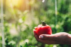 La tomate rouge s'est tenue par la main du ` s de femme photos stock