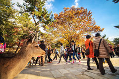 La torre di legno -j'al tempio in Nara Japan è il più grande te Immagini Stock