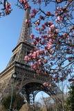 La torre Eiffel y una rama de la magnolia Imágenes de archivo libres de regalías