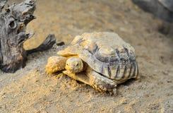 La tortue Photo stock