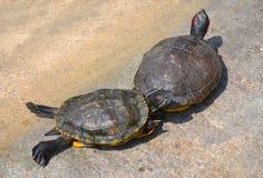 La tortue Images libres de droits