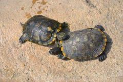 La tortue Image libre de droits