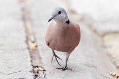 La Tortue-colombe rouge regarde quelque chose avant sommeil pendant le matin images stock