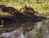 La tortue colorée se reflète à la réservation de barre du cercle B Images libres de droits