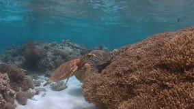 La tortue de Hawksbill nage sur un récif coralien Photos libres de droits