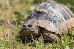 La tortue de Hermann Images stock