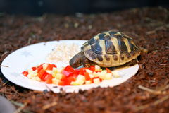 La tortue de Hermann (boettgeri de hermanni de Testudo) Photographie stock libre de droits