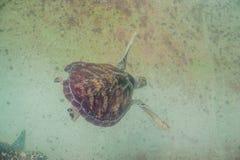 La tortue de mer nage dans l'aquarium Vue de ci-avant image libre de droits