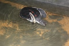 La tortue de mer nage dans l'océan ouvert La tortue est brune Photos libres de droits