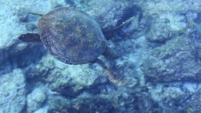 La tortue de mer nage près de la côte banque de vidéos