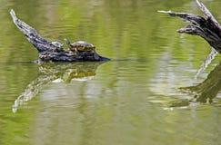 La tortue et le bébé adultes se reposent sur le bois de flottage avec des réflexions de l'eau Photos stock
