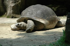 La tortue géante Images stock