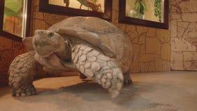 La tortue gigantesque se déplace l'exotarrium banque de vidéos