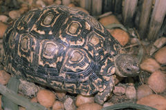 La tortue marche sur le jardin rocheux et mange l'herbe Photographie stock libre de droits