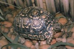 La tortue marche sur le jardin rocheux et mange l'herbe Images libres de droits