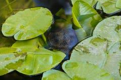 La tortue nage dans l'eau Une tortue rouge-gonflée nage parmi photo stock
