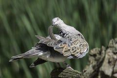 La tortue paisible a plongé oiseau lissant ses plumes d'aile Photographie stock