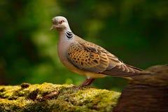 La tortue a plongé, le turtur de Streptopelia, oiseau de forêt de pigeon dans l'habitat de nature, fond vert, Allemagne Scène de  images stock