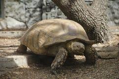 La tortue rampe Image libre de droits