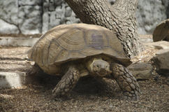 La tortue rampe Photo stock