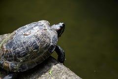 La tortue rampe près de l'étang, reptile dans la carapace photos libres de droits