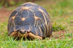 La tortue rayonnée photographie stock libre de droits
