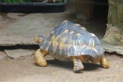 La tortue rayonnée marche dans le secteur de zoo photo libre de droits