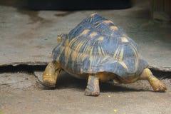 La tortue rayonn?e marche dans le secteur de zoo photo stock