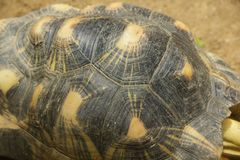 La tortue rayonn?e marche dans le secteur de zoo image stock