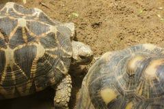 La tortue rayonn?e marche dans le secteur de zoo photo libre de droits