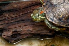 La tortue rouge-à oreilles de glisseur sur un bois Photo stock