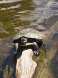 La tortue se repose sur le bois de dérive de rondin d'arbre dans l'eau claire Image libre de droits