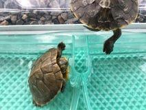 La tortuga Foto de archivo