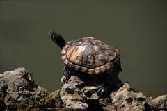 La tortuga Foto de archivo libre de regalías